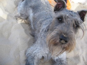 Knosey @ the Beach - TerrierLover.com